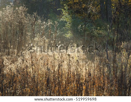 Grasses are backlit with the morning sun at Oldfield Oaks Forest Preserve, DuPage County, Illinois