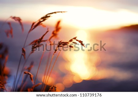 Grasses at sunset