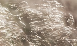 Grasses blowing in the breeze, a calming, gentle, abstract effect. Concept: Peace and tranquility. Freedom. Horizontal. Landscape.