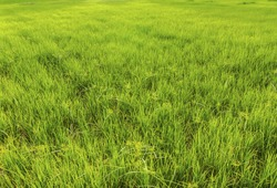 Grasses in the rice field.