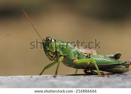 Grasshopper #216886666