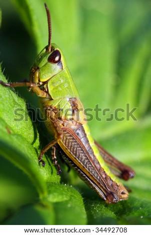 Grasshopper #34492708