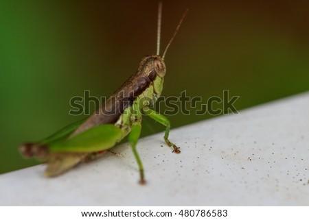 Grasshopper #480786583