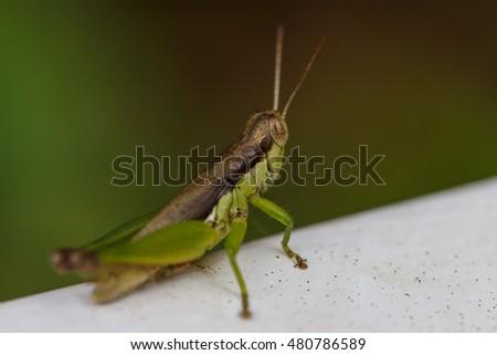 Grasshopper #480786589