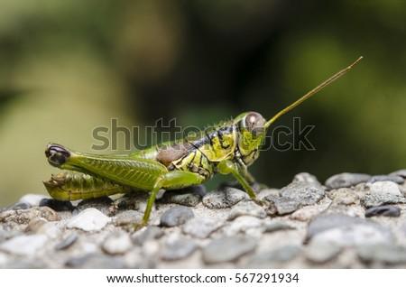 Grasshopper #567291934