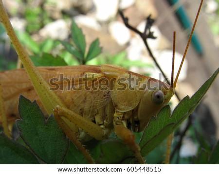 Grasshopper  #605448515