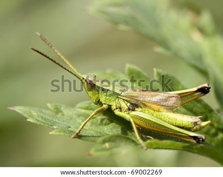 grasshopper #69002269