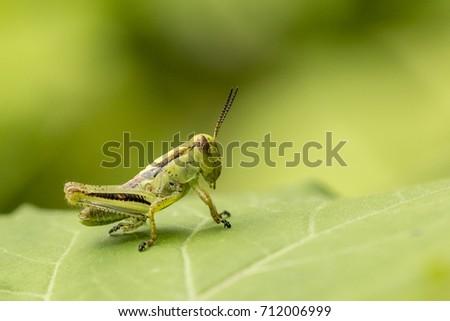 Grasshopper #712006999