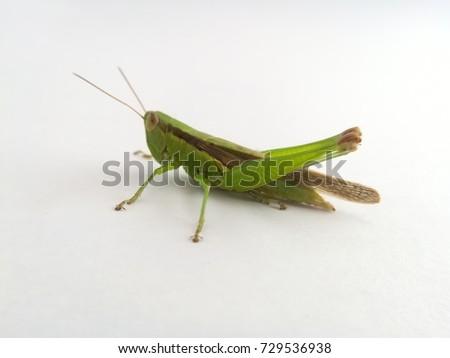 grasshopper #729536938