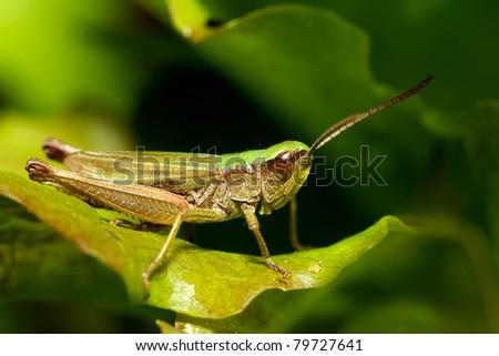 Grasshopper #79727641