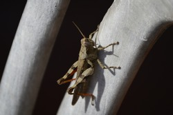 Grasshopper a plant-eaters and ground-dwelling insect with powerful hind legs.