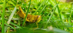 Grasshopper are herbivourous insects that have antennae shorter than their bodies. Grasshopper can be a devastating pesta for plantations  rice fields.