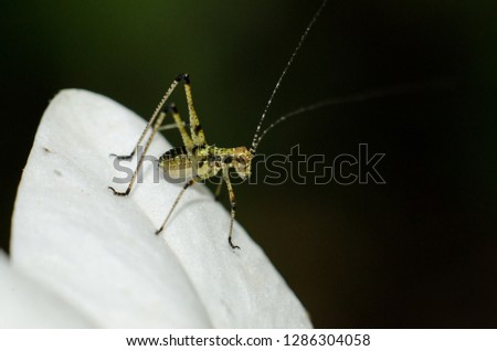 grasshopper close up on a beautiful white flower waiting for lunch