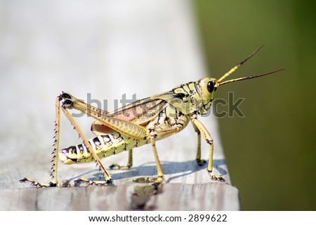 grasshopper closeup #2899622