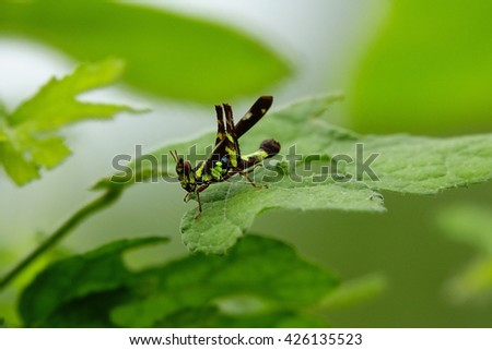 Grasshopper eating green leaves after rain with blurry green leaf background:Close up,select focus with shallow depth of field.