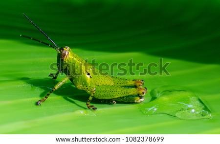 grasshopper,Grasshopper on banana leaf #1082378699
