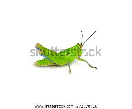 Grasshopper green isolated on white. #292598918