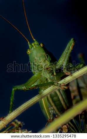 Grasshopper green (lat. Viridissima tettigonia's) — kind of insects These grasshoppers of the order Orthoptera. Adults reach a length of 28-36 mm.   #1335295478