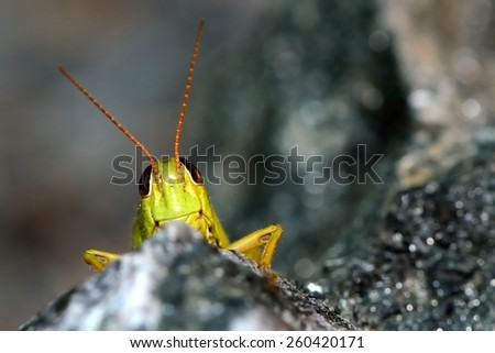 grasshopper hidden behind a rock, only his head and antennas exceed, horizontal #260420171