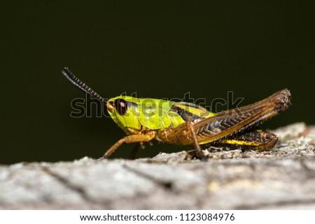 grasshopper in close up-view #1123084976