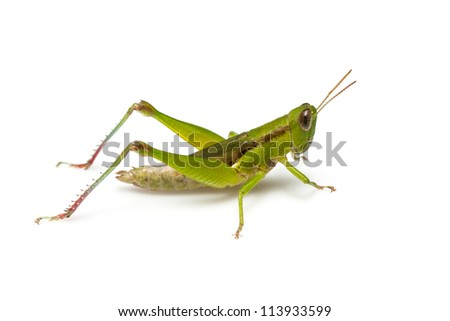 Grasshopper in front of white background #113933599