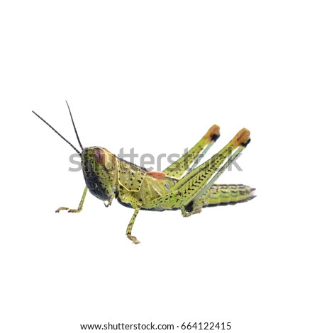 Grasshopper in front of white background #664122415