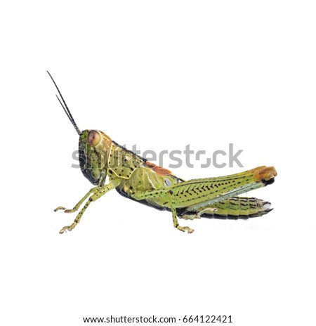 Grasshopper in front of white background #664122421
