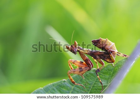 grasshopper in green nature or in the garden - stock photo