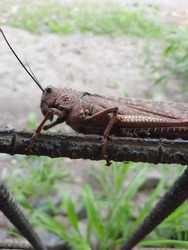 grasshopper in natural state posing for the camera