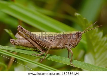 Grasshopper in the grass #180739124