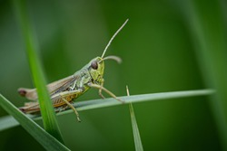Grasshopper in the grass- close up view