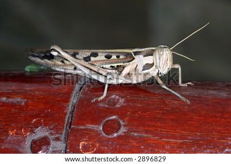 grasshopper in Tsavo East National Park Kenya