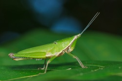 Grasshopper,insect, animal
