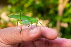 Grasshopper insect on man hand in garden outdoor, park green background cricket animal macro close up wildlife