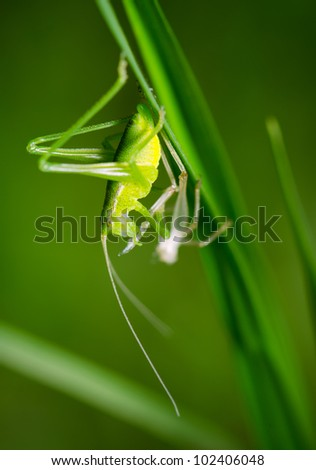 Grasshopper is changing on the grass in the garden