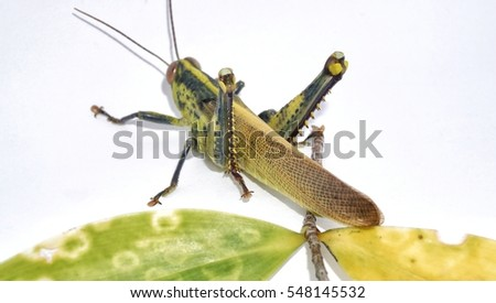 Grasshopper isolate on white background #548145532