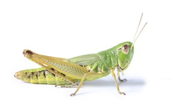 grasshopper isolated