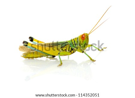 grasshopper isolated on a white background #114352051