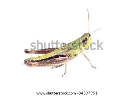 grasshopper isolated on white #84397951
