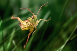 Grasshopper jump close up, insect macro