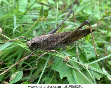 Grasshopper leaf picture  Color like dry leaves  Camouflage himself with dry leaves and trees