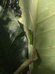 Grasshopper - locust sitting on blade of grass. Front view. Macro photography.,Anturium is a very beautiful forest plant,locust animal ,animals antenna,antennae,background