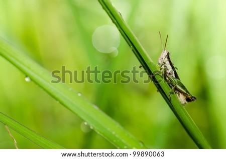 grasshopper macro in green nature or in the garden - stock photo