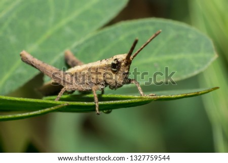 grasshopper, macro of insect in wild, animal in nature, close-up animal in wild #1327759544