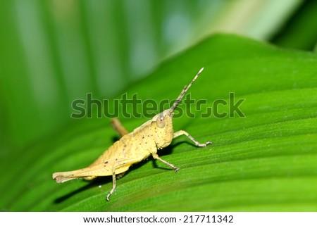 grasshopper on a leaf #217711342