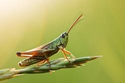 grasshopper on grass close up