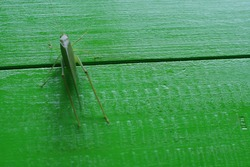 grasshopper on green background in winter days with the arrival of Christmas
