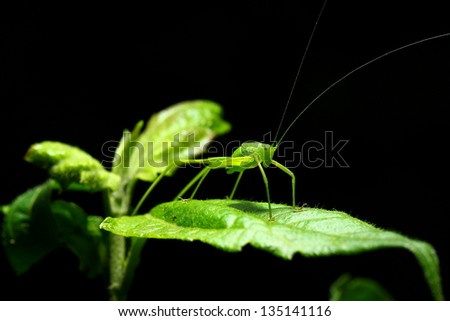 Grasshopper on green leaf. - stock photo