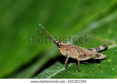 Grasshopper on leaf #181201304