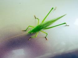 Grasshopper on my car.